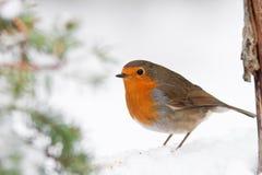 Pisco de peito vermelho do inverno do Natal na neve com árvore de pinho Foto de Stock Royalty Free