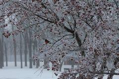 Pisco de peito vermelho do inverno em uma árvore revestida da geada Foto de Stock