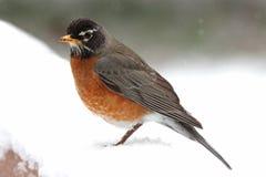 Pisco de peito vermelho do inverno na neve fotografia de stock