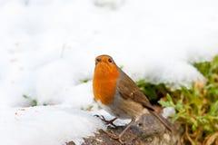 Pisco de peito vermelho do Natal na neve que olha ao céu imagens de stock