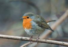 Pisco de peito vermelho do pássaro que senta-se entre os ramos no outono imagens de stock royalty free
