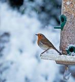 Pisco de peito vermelho e neve Foto de Stock