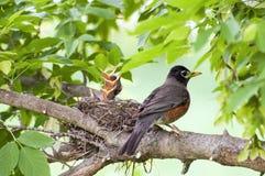 Pisco de peito vermelho e pássaros de bebê fotografia de stock royalty free