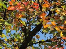 Pisco de peito vermelho em Autumn Bradford Pear Imagens de Stock Royalty Free