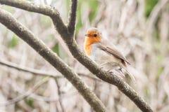 Pisco de peito vermelho em um ramo Foto de Stock Royalty Free