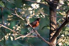 Pisco de peito vermelho em uma árvore imagens de stock royalty free