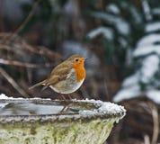 Pisco de peito vermelho europeu na neve Imagens de Stock Royalty Free