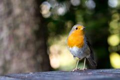Pisco de peito vermelho europeu que procura migalhas na tabela no parque Imagem de Stock