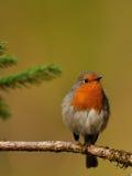 Pisco de peito vermelho europeu (rubecula do Erithacus) Foto de Stock