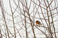 Pisco de peito vermelho na filial de árvore Imagens de Stock Royalty Free