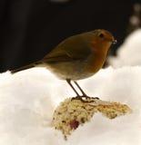 Pisco de peito vermelho na neve Imagens de Stock
