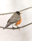 Pisco de peito vermelho na neve Fotos de Stock