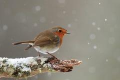 Pisco de peito vermelho na neve de queda imagens de stock