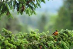 Pisco de peito vermelho na primavera Foto de Stock