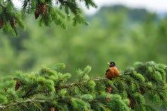 Pisco de peito vermelho na primavera Fotografia de Stock Royalty Free