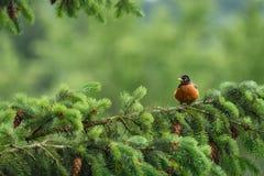 Pisco de peito vermelho na primavera Fotos de Stock Royalty Free