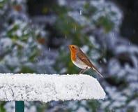 Pisco de peito vermelho no alimentador nevado Fotografia de Stock