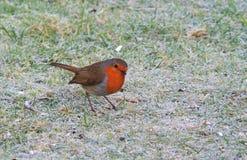 Pisco de peito vermelho no inverno imagens de stock royalty free