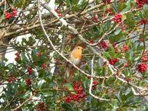 Pisco de peito vermelho no parque Co Kerry Ireland da vila de Sneem da árvore de azevinho Foto de Stock Royalty Free