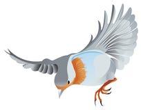 Pisco de peito vermelho no voo ilustração do vetor