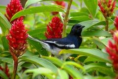 Pisco de peito vermelho oriental do magpie Fotografia de Stock Royalty Free