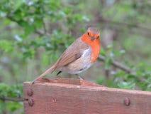 Pisco de peito vermelho, pássaro do favorito de Britains Fotografia de Stock Royalty Free