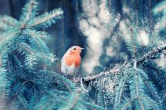 Pisco de peito vermelho pequeno engraçado do pássaro que senta-se nos ramos do Natal foto de stock royalty free