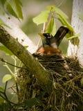 Pisco de peito vermelho que constrói um ninho na mola Imagem de Stock Royalty Free