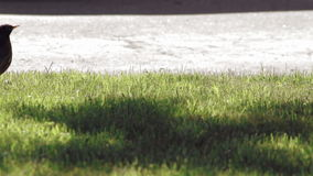Pisco de peito vermelho que corre através de um gramado verde filme