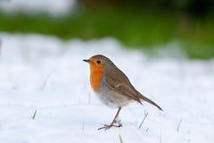 Pisco de peito vermelho que está na neve foto de stock royalty free