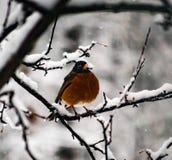 Pisco de peito vermelho que senta-se apenas em um ramo de árvore imediatamente depois de uma tempestade fotos de stock royalty free