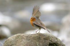 Pisco de peito vermelho (rubecula do erithacus) Foto de Stock