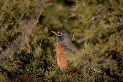 Pisco de peito vermelho selvagem que senta-se em uma árvore sempre-verde Imagens de Stock