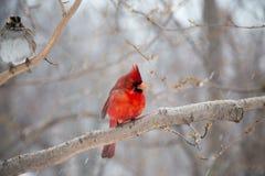 Pisco de peito vermelho vermelho Imagens de Stock