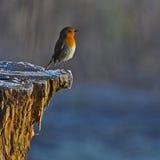 Pisco de peito vermelho vermelho no inverno branco Imagem de Stock Royalty Free