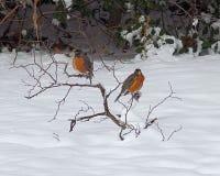 Piscos de peito vermelho americanos na neve Foto de Stock Royalty Free