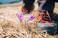 Pise em botas grandes do viajante perto das flores macias do açafrão no mountai Fotos de Stock