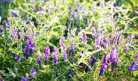 Piselli del topo dell'erba con i fiori porpora nei raggi del tramonto immagine stock libera da diritti