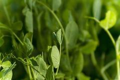 Piselli della plantula Fotografie Stock