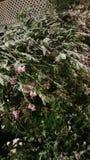 Piselli dolci della neve fotografie stock