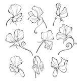 Piselli dolci Insieme floreale di vettore Fiori illustrazione vettoriale