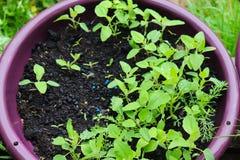 Piselli ed erbacce che crescono in un vaso immagini stock libere da diritti