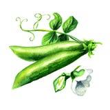 Piselli freschi verdi con la foglia ed il fiore, illustrazione disegnata a mano dell'acquerello isolata su fondo bianco royalty illustrazione gratis