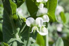 Pisello del fiore bianco Immagini Stock Libere da Diritti