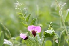 Pisello del fiore coperto di rugiada Immagini Stock