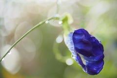 Pisello di farfalla Fotografie Stock
