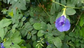 Pisello di farfalla Fotografia Stock