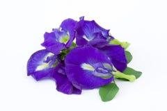 Pisello di farfalla blu Fotografia Stock Libera da Diritti