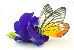 Pisello di farfalla blu Fotografie Stock