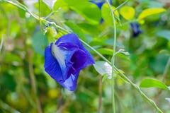 pisello di farfalla nel giardino, fiori sboccianti immagine stock